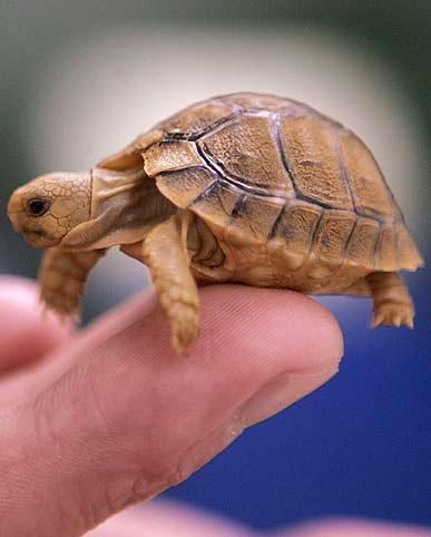 Аквариумы для черепах. нужно постоянно содержать в чистоте, так как от этого зависит здоровье вашей черепахи.